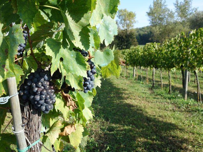 Grape-Harvest-and-Goose-Ragu04